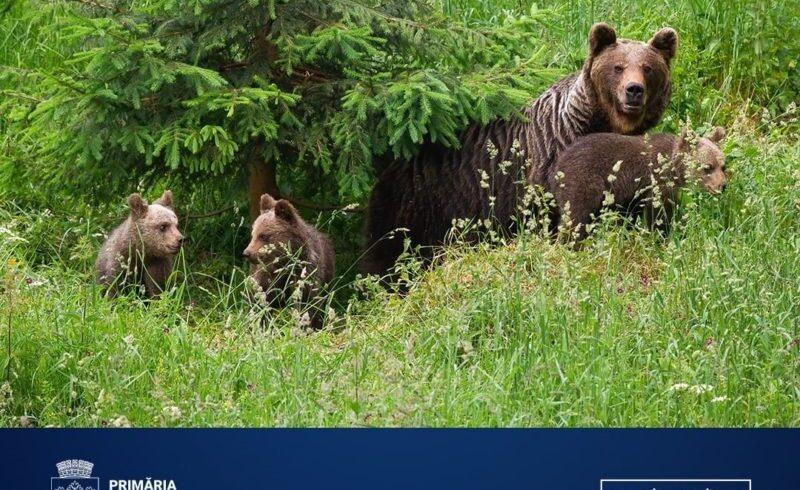 o-a-doua-ursoaica-si-puii-acesteia,-capturati-de-primaria-brasov-si-relocati