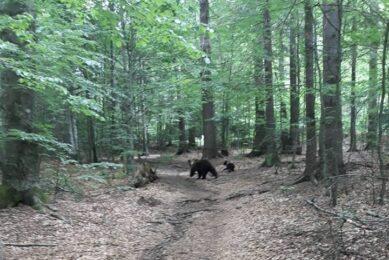trei-ursi-bruni-de-pe-fonduri-cinegetice-din-judetul-harghita-vor-fi-impuscati